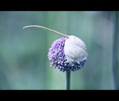 Flowering Onion (il chirurgo matto ) Tags: pink blue flower galway dof purple bokeh fine getty flowering onion connaught seeding fineartphotos 13520 flickraward 5dmarkii 5dmk2 summertimeireland gettyimagesgermany gettyimagesdeutschland