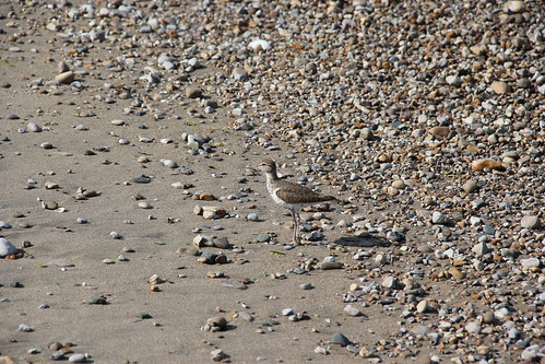 friendly spotted sandpiper