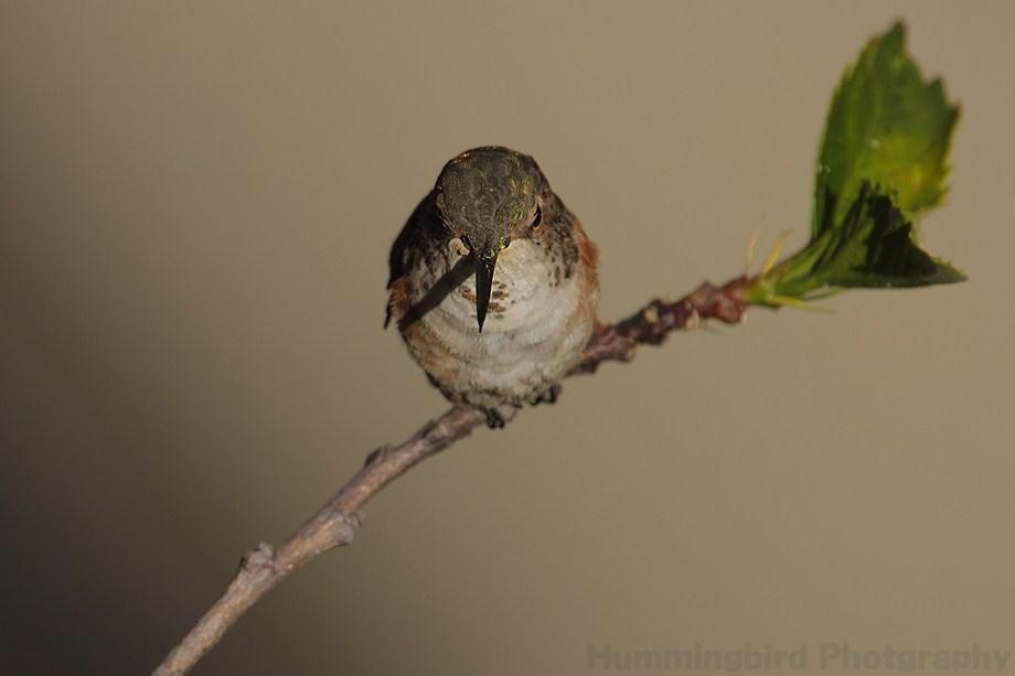 Allen's Hummingbird 080511-2