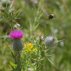A bumblebee flies away from a thistle