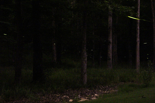 photographing fireflies