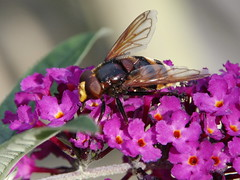 Volucella zonaria (Badly Drawn Dad) Tags: london buddleia unitedkingdom mygarden gbr volucellazonaria royalred hornetmimichoverfly