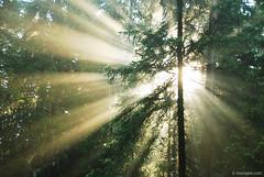 sun rays in Rhodope,  ,   (.:: Maya ::.) Tags: sun green pine forest woods magic bulgaria rays gora rodopi rodopa  rhodope   beglika beglik     mayaeye mayakarkalicheva   wwwmayaeyecom