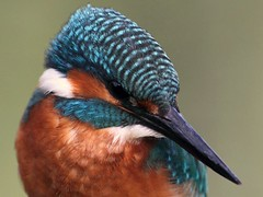 Kingfisher Close Up! (www.willdawesphotography.co.uk) Tags: blue england orange up newcastle close northumberland will kingfisher dawes greatphotographers specanimal colorphotoaward avianexcellence willdawes