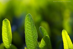 green LIFE (puthoOr photOgraphy) Tags: green leaves leaf nikon dk greenleaf lightroom d90 adobelightroom tokina100mm28 nikond90 tokina100mmf28atxprod lightroom3 amazingqatar imagicland puthoor gettyimagehq