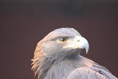 Pacific Northwest Raptor: Hawk
