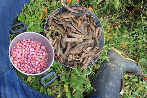 Harvesting of beans