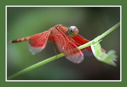 libelle by hans van egdom