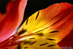 Lighted Lily Flowers (D. Photos) Tags: light red flower nature yellow nikon lilies macrophotography redlilies debbiephotos elitephotography liliesflower