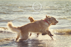 Playing With Piper At the Beach (VeryViVi) Tags: ocean california dog beach water goldenretriever canon waves action 7d sanfranciscobay doggy piper splashing canoneos7d missvivigold veryvivi
