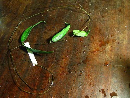 Hoya hypolasia - Madang PNG (IML 1155)