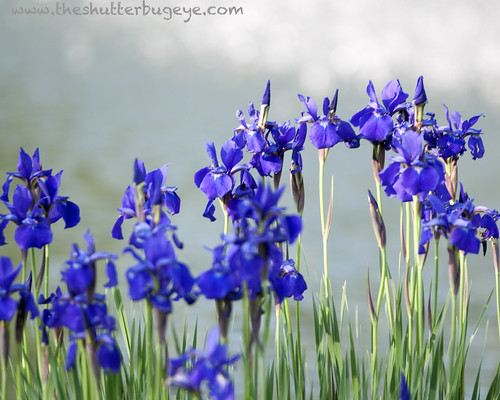The Iris Garden by The Shutterbug Eye™