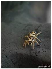 Sad looking jumping spider (Dream_Searcher) Tags: bw white black macro closeup insect spider jumping fuji shot finepix fujifilm dcr250 raynox hs10