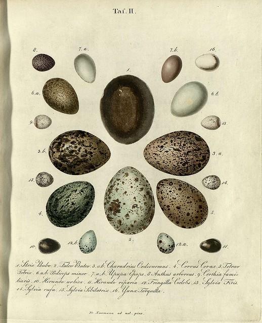 Die Eier der Vögel Deutschlands c, 1818