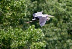 Blue Heron-005