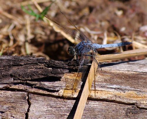 Blue Dragonfly - Broome Bird Observatory - Kimberley, Western Australia