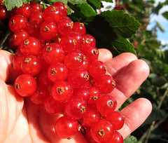 Ripe red currants in woman hand (Batikart) Tags: shadow red summer food sun plant macro green rot nature leaves closeup fruit canon germany geotagged deutschland leaf berry colorful europa europe berries hand finger sommer natur pflanze harvest crop stems grn shrub makro blatt sonne beere frucht schatten busch ernte frchte g11 obst redcurrant fellbach stengel johannisbeeren badenwrttemberg swabian johannisbeere 2011 rotejohannisbeere saxifragales grossulariaceae ribesrubrum colorphotoaward batikart canonpowershotg11