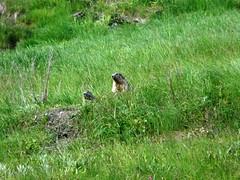Marmottes au Mont Cenis 007