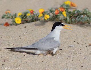California Least Tern on Beach Nest of Two Eggs
