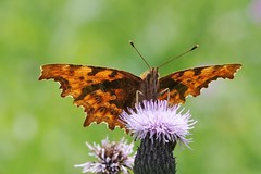 Comma Polygonia butterfly - Amsterdam (IvoMathieuGaston) Tags: pink orange brown white black flower color colour macro green nature colors amsterdam butterfly lunch nikon colours purple thistle comma d300 polygonia nationalgeographicgroup butterflycolorgroup naturewatchinggroup eperkegroup flickrstarsgroup freenaturegroup amazingmacrosgroup natureisallgroup naturegreenstargroup butterfliesgroup worldofanimalsgroup nikonflickrawardgroup onlyanimalsgroup loverofnaturegroup naturepicsgroup macrosdenaturalezagroup beautifulshotgroup animalflowerscloseupsgroup macroworldgroup flowersinsectsandbutterfliesgroup butterflybeautygroup dutchnaturegroup insectmacrophotographygroup naturephotographygroup butterflygallerygroup universeofnaturegroup naturestylegroup