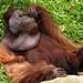 Os orangotangos dao show...