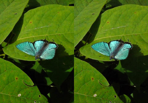 Favonius taxila, stereo parallel view