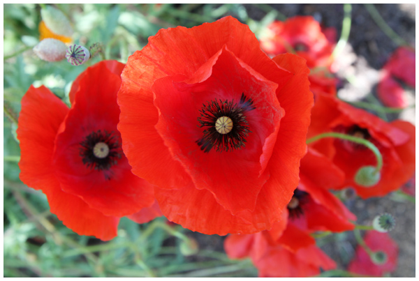 Papaver Poppies