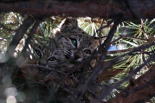 Photo - Bobcats