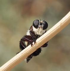 A bee killer, Mallophora fautrix (Dave Beaudette) Tags: arizona flies robberfly cochisecounty sanpedrohouse sanpedroripariannationalconservationarea mallophorafautrix