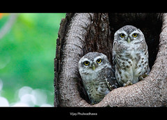 Duo... (Vijay..) Tags: nature canon duo owls 100400l vijayphulwadhawa
