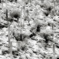 Saguaro National Park (Robert_Brown [bracketed]) Tags: park arizona cactus brown robert canon mark national ii 5d np saguaro 70200l