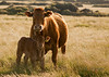 cow and calf (Helgrrr) Tags: cow calf carnmarth