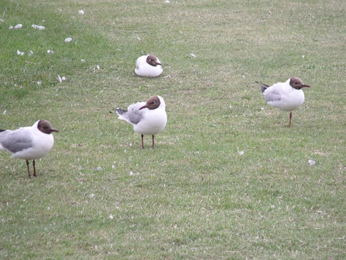 Hunstanton - The Green - Brown headed gull