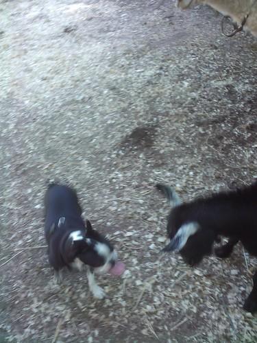 Goat head butting Bandit