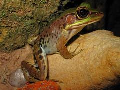 Amazon River Frog (Junglenews) Tags: amazon frogs amphibians rana roraima amazonia anura amphibia ranidae anfíbios anuros lithobates tepequém