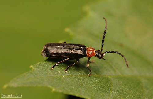 Beetle by Yogendra174
