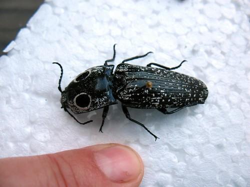 click beetle, Alaus oculatis