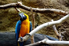 The Macaw! (Rojo in Red) Tags: life blue orange cute bird nature animals gold zoo cool nikon funny colorful pretty parrot colourful macaw d3100