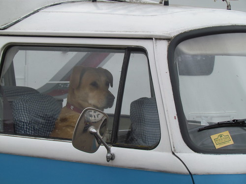 Golden Labrador sitting in the driver's seat of a VW Camper Van