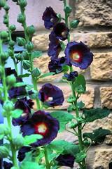 Hollyhocks (chrisgandy2001) Tags: flowers garden hollyhock hollyhocks