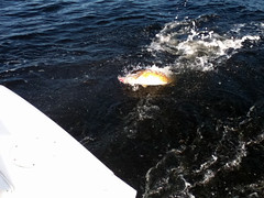 IMG_0304 (PonchaGuy) Tags: trip mackerel great bull spanish redfish