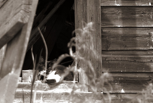 Cat in Barn Window