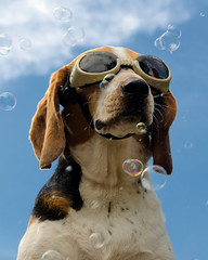 Doggles (Paguma / Darren) Tags: dog cool goggles hound bubbles uncool floyd winning doggles cool2 cool5 cool3 cool6 cool4 cool9 cool7 cool10 cool8 iceboxcool cool11 f64g36r1win