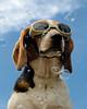 Doggles (Paguma / Darren) Tags: dog cool goggles hound bubbles uncool floyd winning doggles cool2 cool5 cool3 cool6 cool4 cool9 cool7 cool10 cool8 iceboxcool cool11 f64g36r1win