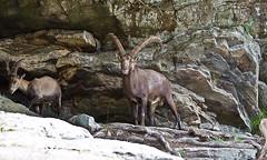 le bouquetin/alpine ibex (111Richard) Tags: quebec parcomega montebello
