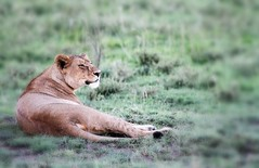 tanzania (mauriziopeddis) Tags: africa nature animals tanzania bush wildlife natura safari ngorongoro animali savana