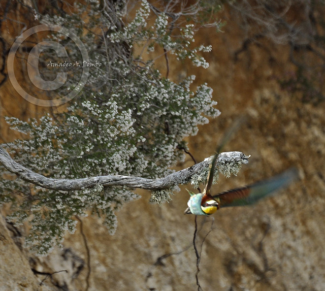 Abejaruco 10 (Merops apiaster)
