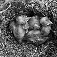 eat & sleep (vaquey) Tags: closeup nest sleep beak eat brten blackbird schnabel amsel fttern kken krallen federn flaum feedind gelege frischgeschlpft eatsleep federflaum vogelkrallen