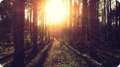 my name is sunshine (FlavioSarescia) Tags: trees light sun sunlight sunshine forest switzerland shine rays sunrays flares