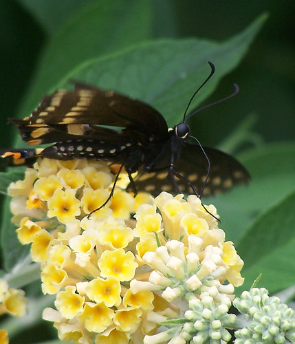 black swallowtail butterfly (Papilio Polyxenes)